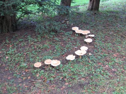 Search for a fairy ring? (Clitocybe geotropa)