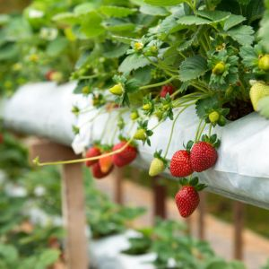 Mycorrhizal Fungi and strawberries