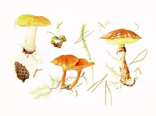 Title: Conifer Woodland Fungi by Claire Ward  Common yellow russula, False chanterelle, Slippery Jack