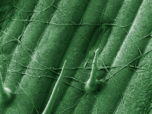 Zymoseptoria tritici, causal agent of leaf blotch disease, growing across a wheat leaf surface in the early stages of infection. SEM by Dr H Fones, University of Exeter