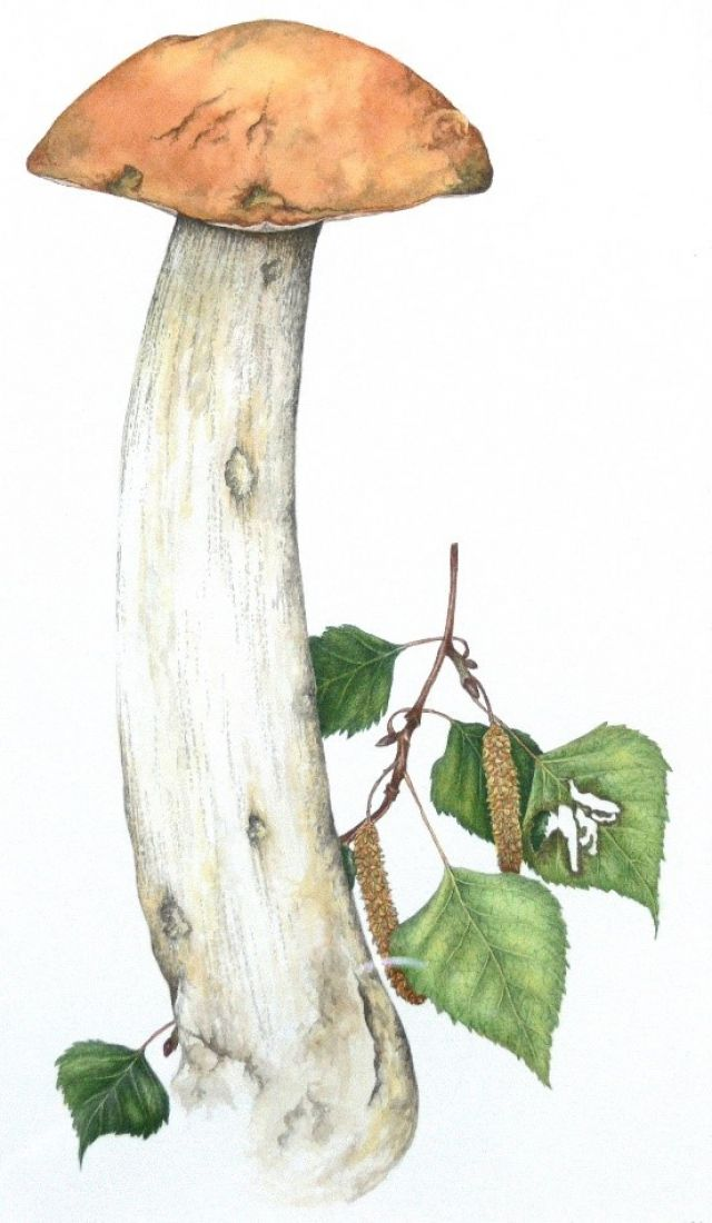 Title: The field sketch of Orange birch bolete developed into a finished painting by Sarah Morrish